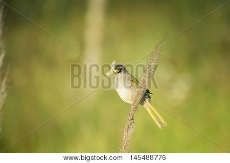 Pale throated pampa finch perched on a herb