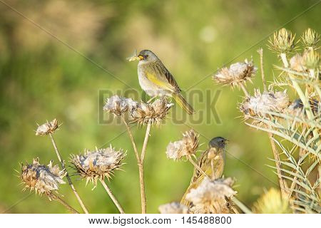Pale throated pampa finch peched on a thistle