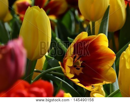 Close up of yelow Tulips in a garden