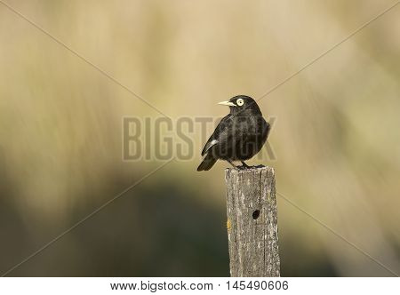 spectacled tyrant bird perched on a wooden pole