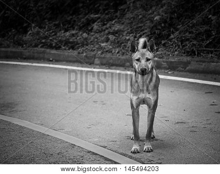 Portrait image of starveling dog appeal a signal 'Do you have some food for me?' from this eyes. Stray dog. Black and white tone