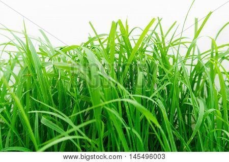 Green grass texture. Element of design / Green healthy grass texture / background of fresh spring green grass Isolated On White