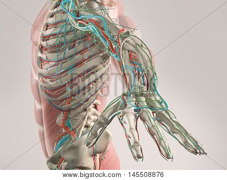Human anatomy view of torso and arm showing skeletal structure and vascular system . Xray view. Transparent. 3d illustration