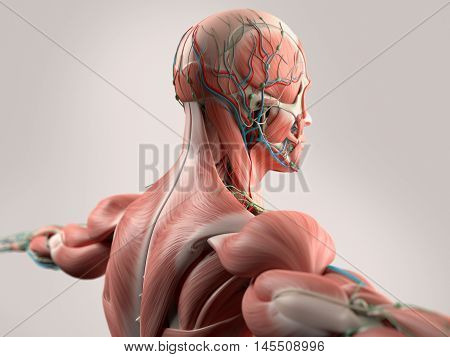 Human anatomy showing face, head, shoulders and back muscular system, bone structure and vascular system. 3d illustration