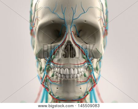 Human anatomy face and head close-up showing parts of skull and vascular system on a light background.3d illustration