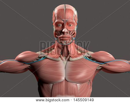 Human anatomy showing face, head, shoulders and torso muscular system, bone structure and vascular system on stylish grey background. 3D illustration