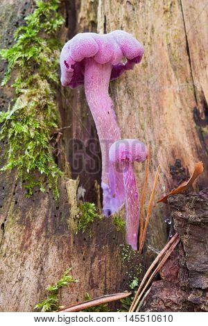 Detail of the amethyst deceiver - edible mushroom