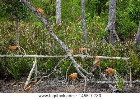 Group of Proboscis Monkeys (Nasalis larvatus) endemic of Borneo in the forest