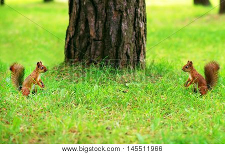 Two Red Squirrels Opposite Each Other. Fight For Territory!