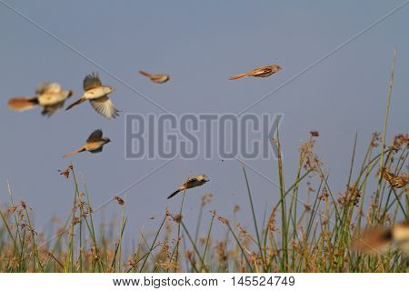 Bearded reedling flock in flight, unique moment, autumn day