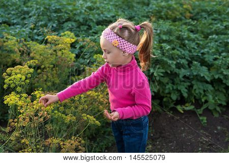 Little girl in a summer garden. She is picking the dill seeds.