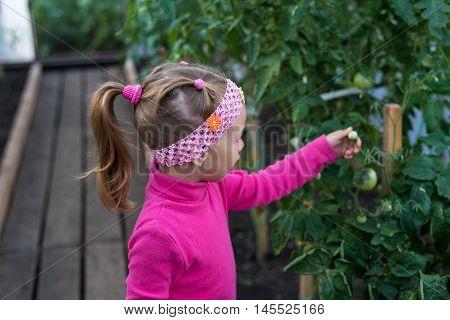 Little girl in a summer garden. She is picking the little tomato.