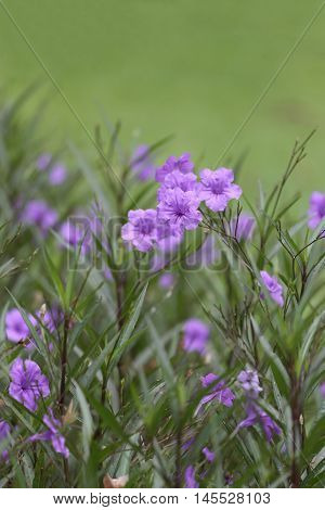 Beautiful of purple Ruellia tuberosa flower or popping pod bloom in public garden. poster