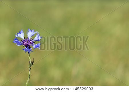 blue cornflower on a background of green meadows in the summer / flower meadow knapweed