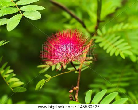 Pink red powder puff or Calliandra Haematocephala Hassk