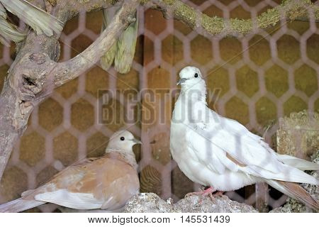 Pigeons in a cage - in white and brown