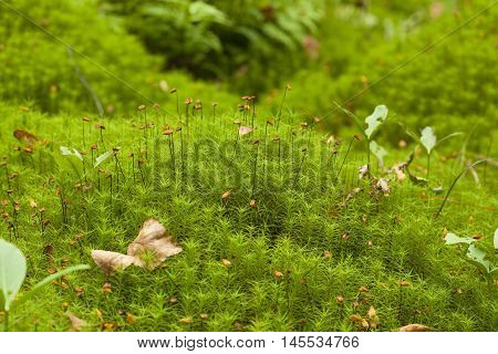 Polytrichum Mosses Macro Background