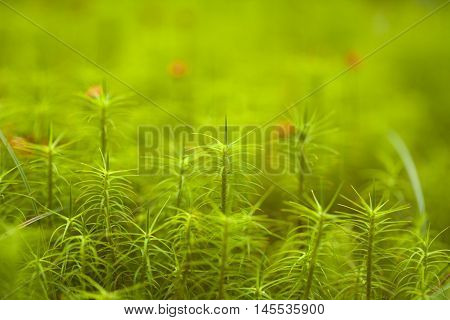 Polytrichum mosses macro natural soft focus background