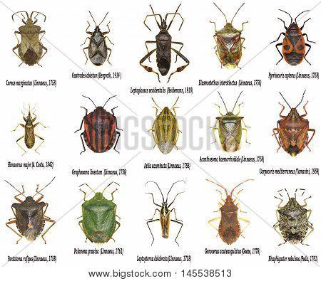 Set of True Bugs of Europe - Hemiptera
