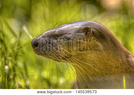 Head Of A European Otter