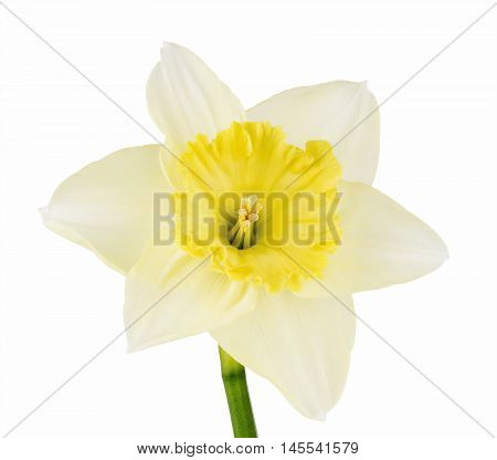 Close-up of daffodil isolated on white background