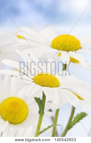 Daisies waving in the breeze and summer sun