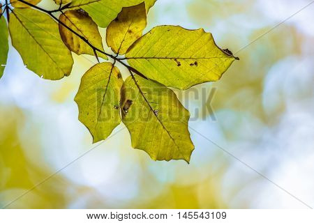 Autumnal Colored Leaves Of European Beech