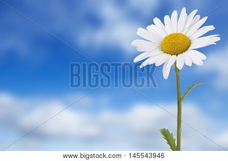 One daisy against blue cloudy sky background