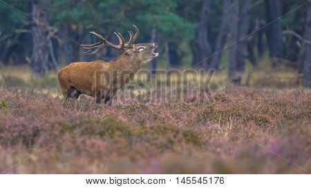 Roaring Male Red Deer In Field Of Heather