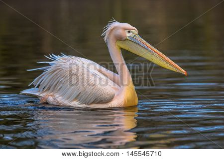 Great White Pelican Sideview
