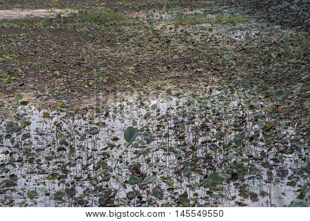 little egret standing among lotus field in a lakeselective focusfiltered image