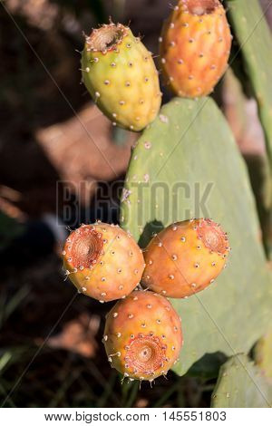 Prickly pear cactus with fruits called also Opuntia, ficus-indica, Indian fig opuntia, barbary fig, tuna, growing near to the sea in the summer time. Fruits of prickly pear cactus. Vertical. Close.
