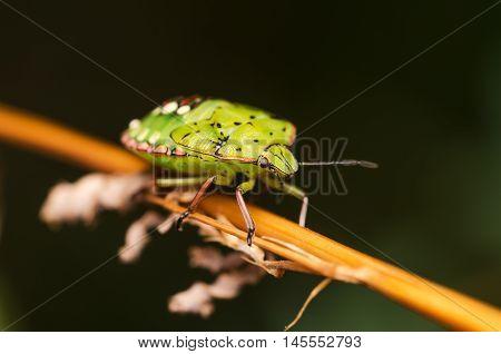 cimice, green, macro, insect, closeup, nature, cimicidae