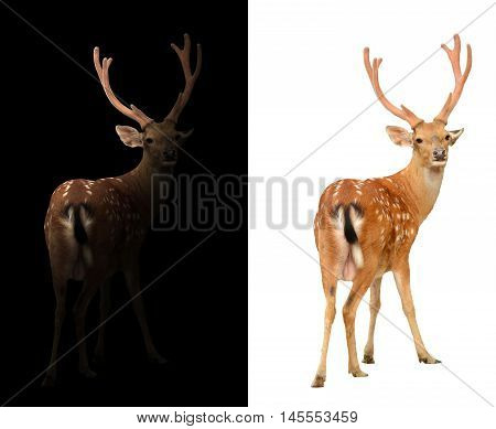 Sika Deer On Dark And White Background