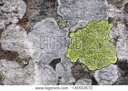 Lichens with bright yellow and white crustose thalli growing on textured churchyard gravestone in Hawkshead, England.