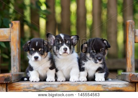 three adorable welsh corgi puppies posing together