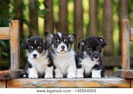 three adorable welsh corgi puppies posing together