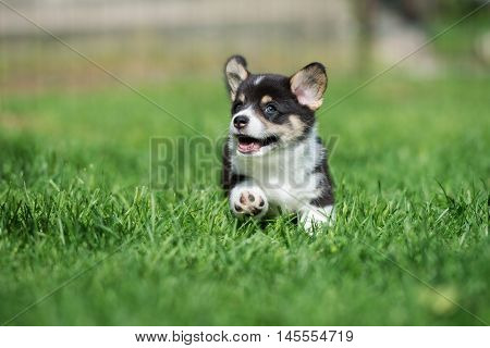 happy welsh corgi pembroke puppy running outdoors in summer