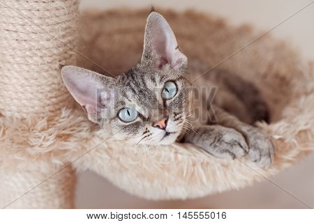 Adorable beautiful Devon Rex cat is chilling on the scratching post. Cat is laying on the hammock. Cat is feeling comfortable and safe being at home. Home pets. Cat Supplies and Equipment