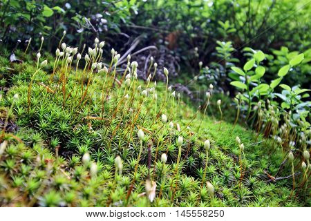 Forest Mosses and moss seeds - close up