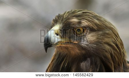 A Portrait of a Golden Eagle in Profile Aquila chrysaetos