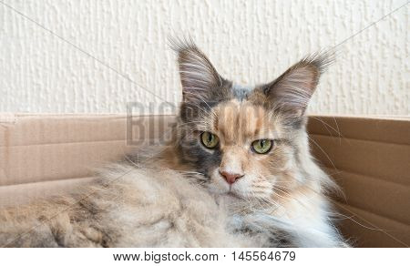 Blue tortie tabby with white Maine Coon cat with extremely long lynx tips on her large ears laying in a cardboard box. She is a modern type of Maine Coon with the much loved feral wild look. From award winning blood lines and show quality. The photo was t
