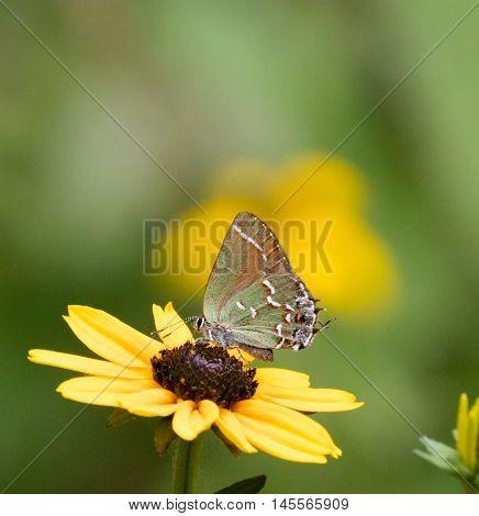Juniper Hairstreak Butterfly (Callophrys gryneus) nectaring on a flower