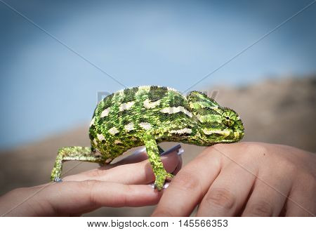 chameleon in the hands against the blue sky