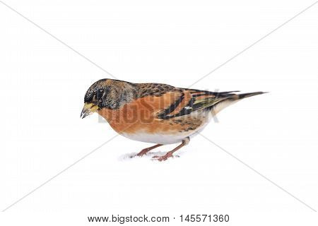 Brambling (Fringilla montifringilla) looking for food in the snow iseen from the side