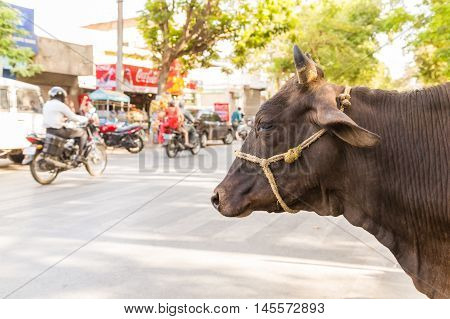 UDAIPUR INDIA - 20TH MARCH 2016: A cow at the side of a road in Udaipur India. Motorbikes can be seen on the road.
