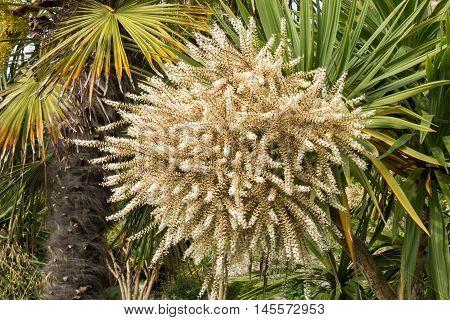 Blooming palm trees in the public Italian Garden of Penarth.