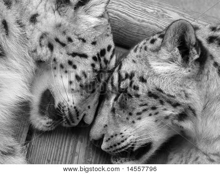 Snow Leopards sleeping