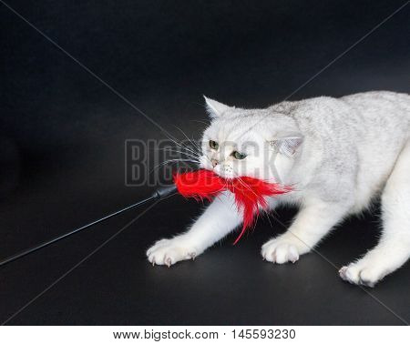 British short hair silver shaded cat playing and pulling red cat toy isolated on black background