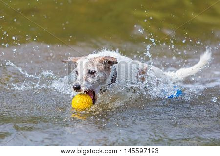 Parson Russell Terrier With A Ball In A River